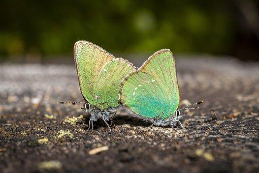 Green Hair Streak, Insect, Animal, Animal Wing