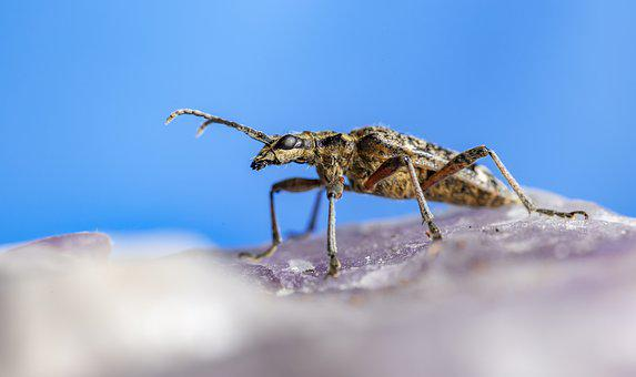 Black-spotted Longhorn Beetle, Insect, Nature, Animal