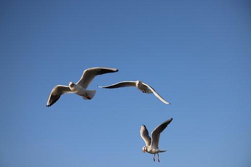 Gulls, Seagull, Sky, Animals, Flying