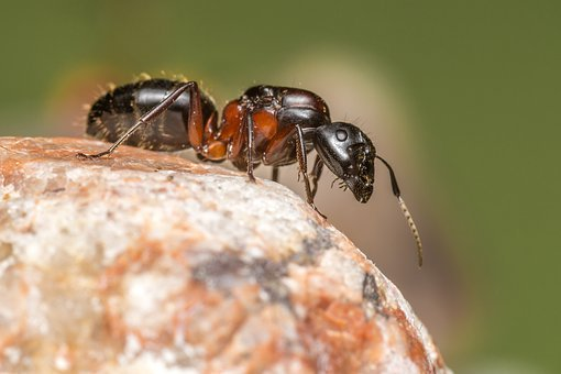Formica, Ant, Nature, Animal, Insect, Forest, Red