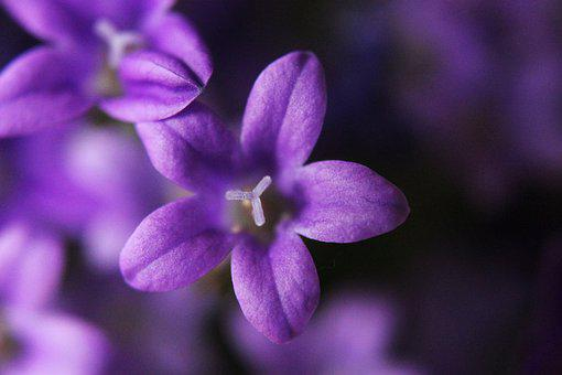 Bellflower, Plant, Macro, Close Up, Flower, Blossom