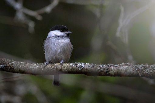 Willow Tit, Bird, Nature, Wildlife, Animal, Tit, Branch