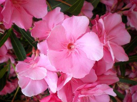 Oleander, Pink, Bloom, Summer, Flower, Nature, Blossom