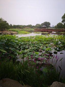 Lotus Leaf, Bridge, Water, Lake, At Dusk, Outdoor