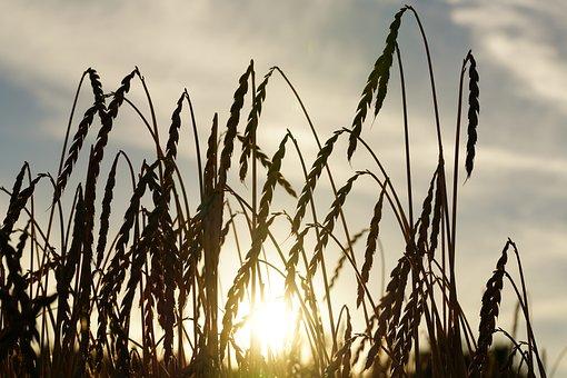 Spelt, Spelt Ears, Grain, Cereals, Ripe, Cornfield