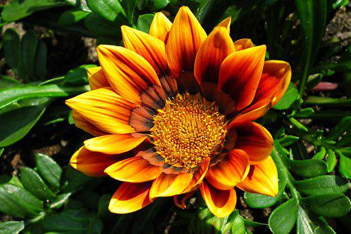 Gazania, Flower, Colored, Nature, Macro