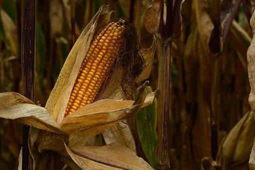 Autumn, Corn, Corn On The Cob, Nature, Crop