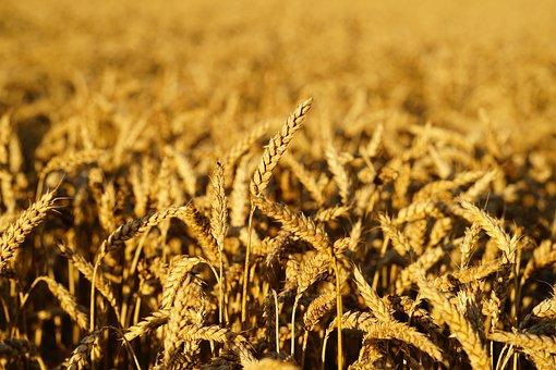 Wheat, Grain, Cereals, Ripe, Cornfield