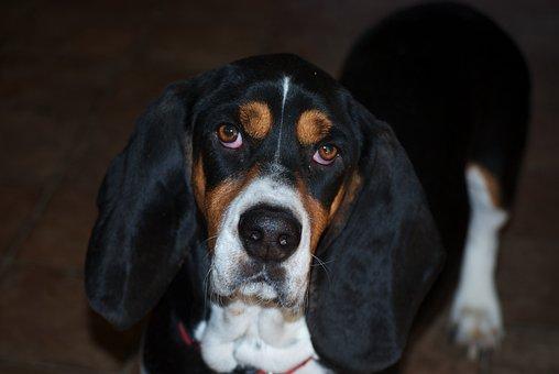 Dog, Bassett, Pet, Animal, Friendly, Cute, Canine