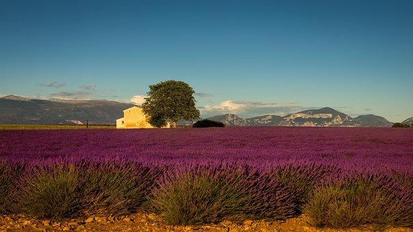 Provence, France, Lavender, Europe, Summer, Purple