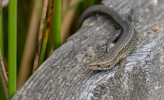 Common Lizard, Reptile, Small, Scales, Eyes, Claws