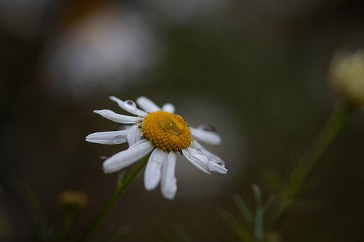 Daisy, Summer, Fall, Autumn, Nature