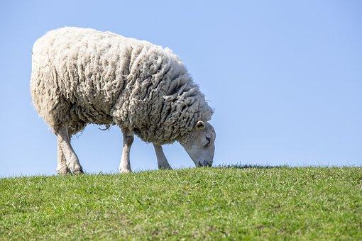 Sheep, Grass, Livestock, Lamb, Farm, Animal