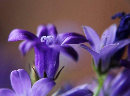 Bellflower, Plant, Macro, Close Up, Flower, Blossom