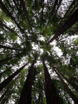 Forest, Redwoods, Trees, Nature, Woods, Environment