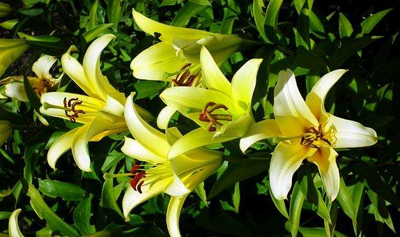 Lilies, Flowers, Garden, Summer, Nature, Closeup