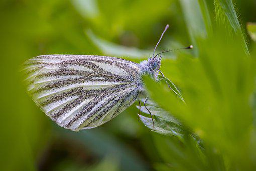 Green-veined White Butterfly, Insect, Nature