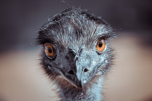 Ostrich, Eyes, Look, Head, Portrait