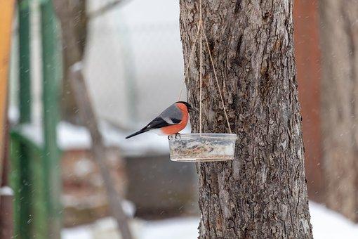 Bullfinch, Red, Bird, In Winter, Tree, Feeder