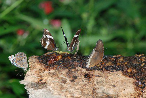 Butterflies, Four, Brown, White, Insect, Nature