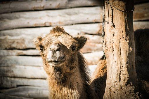 Camel, Dromedary, Desert, Jordan