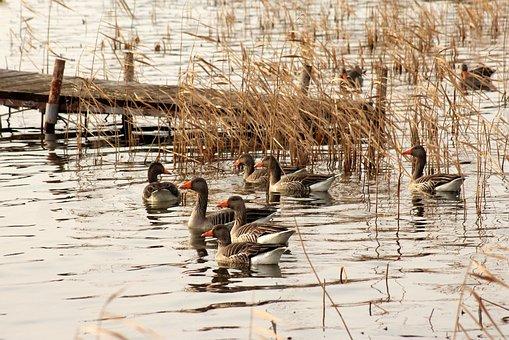Goose Grey Goose, The Wild Geese, Lake, Water Birds