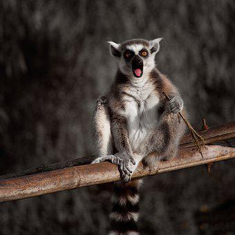 Lemur, Monkey, Animals, Sweet, Cute, Mammal, Madagascar