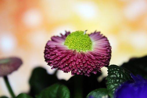 Bellis, Plant, Flower, Nature, Tausendschön, Daisy