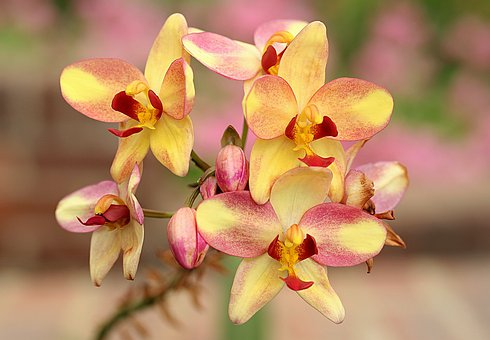 Phalaenopsis, Orchid, Yellow, Red, Flowers, Blossoms