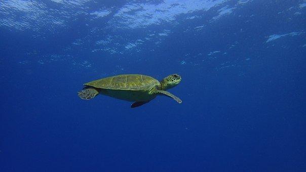 Turtle, Pacific, Hawaii, Reptile, Ocean, Underwater