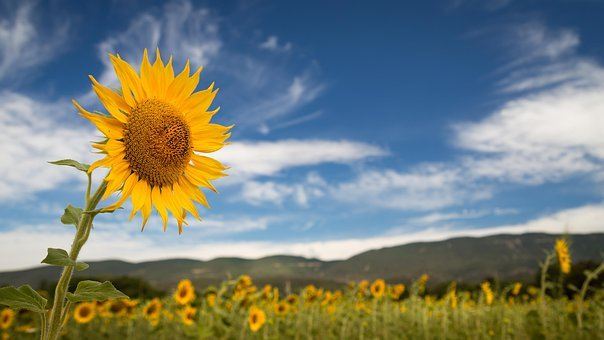 Sunflower, Field, Sky, Clouds, Panorama