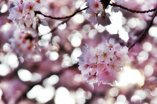 Peach Blossom, Spring, Peach, Nature