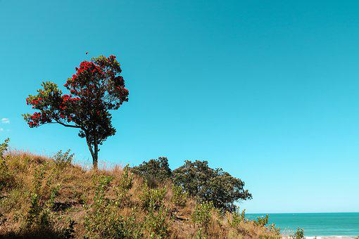 Pohutukawa Tree, Isolated