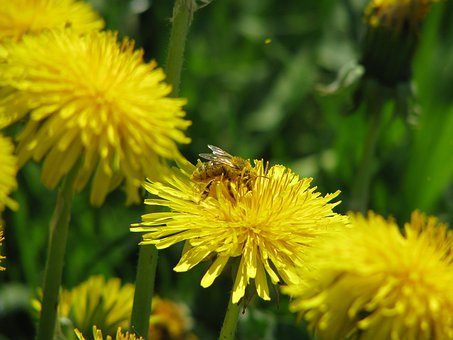 Bee, Pollen, Insect, Close Up, Yellow