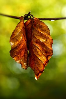 Fall Foliage, Leaves, Raindrop, Red, Green, Pair