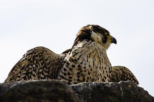 Raptor, Flying, Animal, Hunter, Vulture