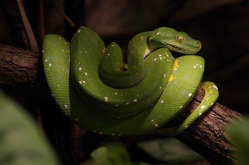 Snake, Natter, Reptile