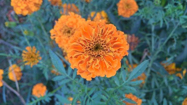 Orange, Nature, Rose, Summer, Spring, Blossom, Bloom