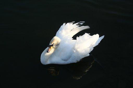Swan, Bird, Water, Lake, Nature, Plumage