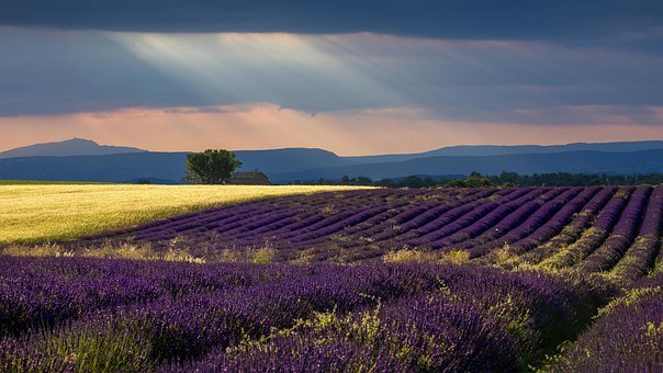 Lavender, Provence, Wheat, Light Rays