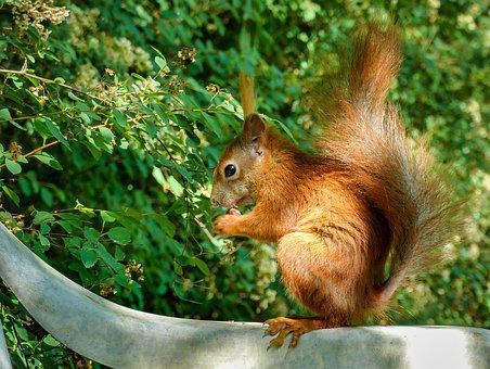 Squirrel, Rodent, Tail, Wild, Trustful, Foraging