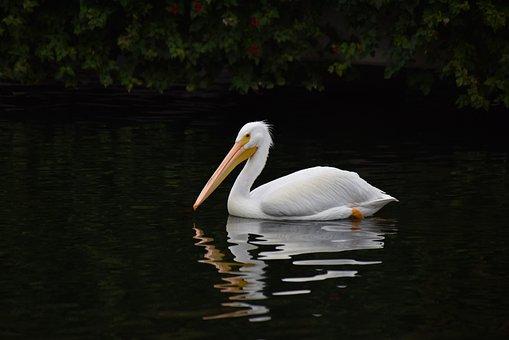Pelican, White, Bird, Water, Wildlife, Animal, Wild