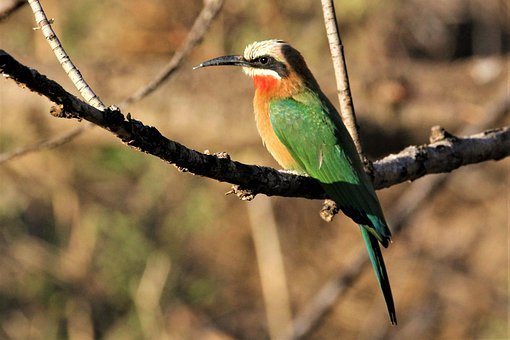 White Fronted Bee-eater, Bird, Watching, South, Africa