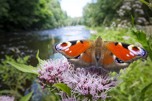 Peacock, Aglais Io, Butterfly, River, Insulation