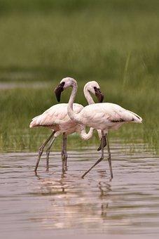 Animal, Art, Beauty, Birds, Color, Elegant, Flamingo