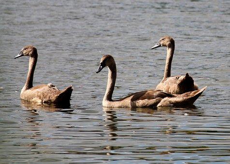 Swan, Chicks, White, Bird, Pride, Water