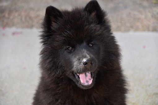 Dog, Dog Eurasier, Young Eurasier, Bitch Ploublue