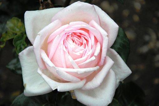 Pink Rose, Rose, Light Pink, Flower, Plant, Bloom