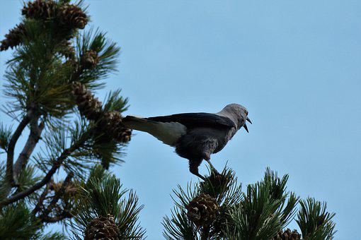 Nature, Bird, Clark's Nutcracker, Mountain Bird, Canada
