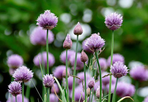 Chives, Flowers, Purple, Garden, Plant, Close Up, Herbs